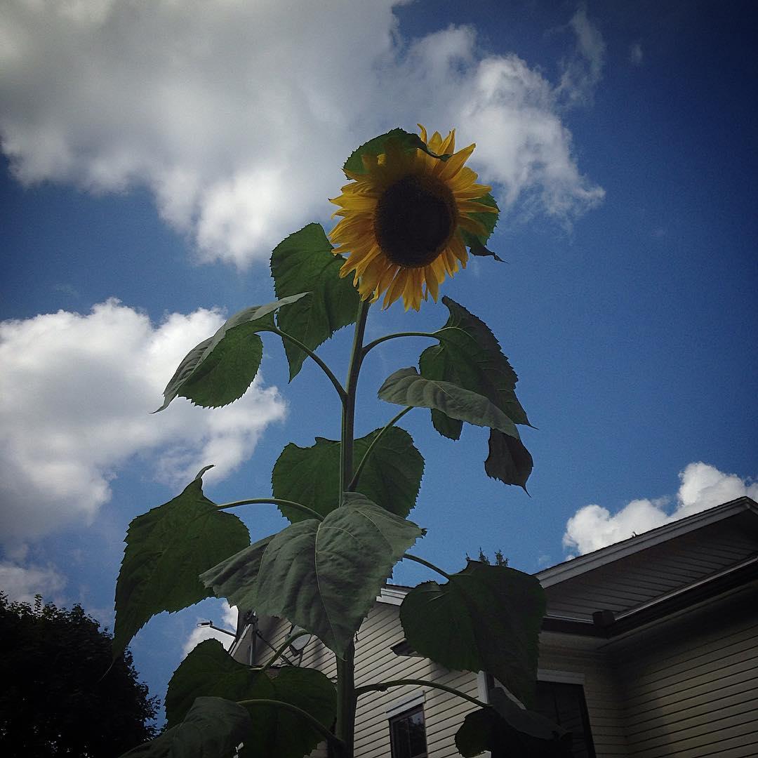 Monster sunflower in my parent's backyard!